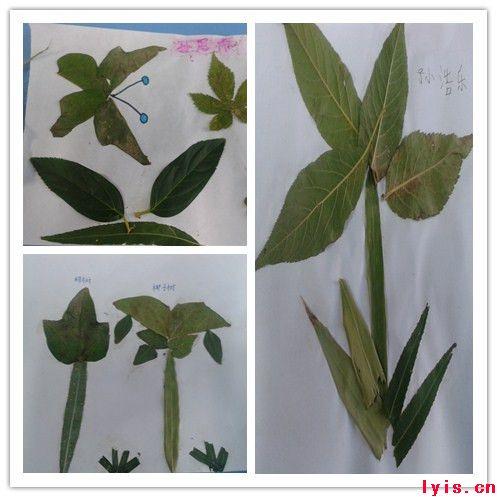 小学树叶拼图手工制作图片
